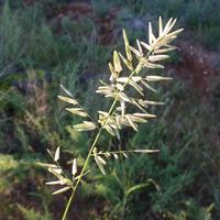Image of Eragrostis cilianensis
