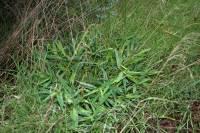 Panicum oligosanthes image