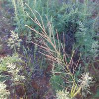 Image of Dinebra panicea