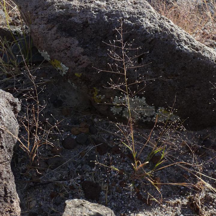 Muhlenbergia fragilis image
