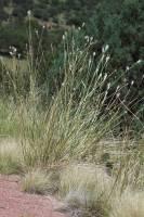 Image of Bothriochloa springfieldii