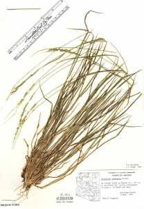 Image of Eriochloa contracta