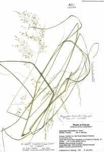 Eragrostis curvula var. curvula image