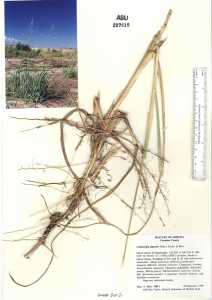 Image of Calamovilfa gigantea