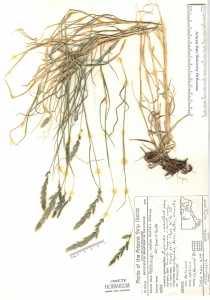 Image of Muhlenbergia andina