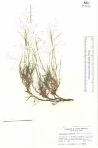 Image of Muhlenbergia arenacea