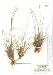 Image of Sporobolus nealleyi