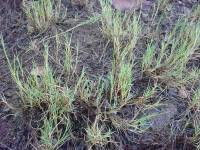 Image of Muhlenbergia repens