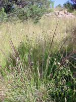 Image of Muhlenbergia rigida