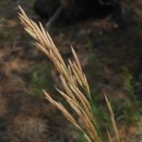 Image of Bromus inermis