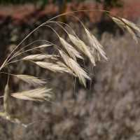Image of Bromus japonicus