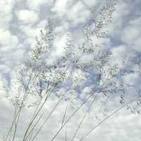 Image of Eragrostis lehmanniana