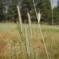 Image of Hordeum brachyantherum