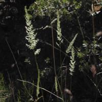 Image of Koeleria macrantha