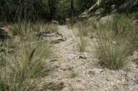 Image of Muhlenbergia palmeri