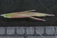 Muhlenbergia paniculata image