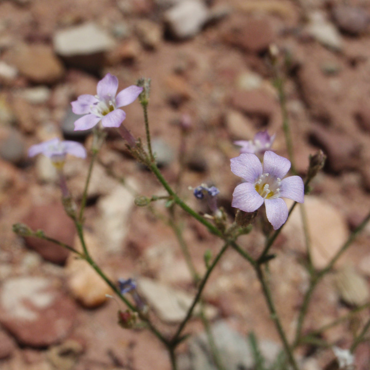 Aliciella hutchinsifolia image