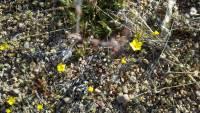 Leptosiphon chrysanthus subsp. chrysanthus image
