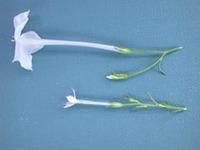 Image of Ipomopsis laxiflora