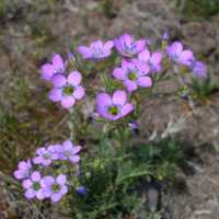 Image of Gilia flavocincta