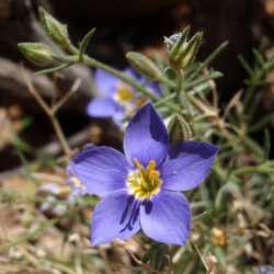 Image of Giliastrum acerosum