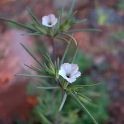 Image of Linanthus bigelovii