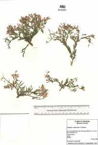 Polygala subspinosa image