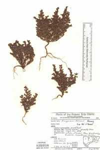 Image of Eriogonum darrovii