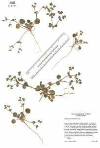 Image of Eriogonum divaricatum