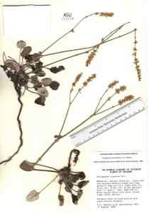 Image of Eriogonum panamintense