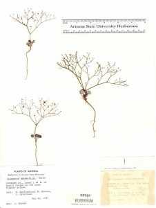 Image of Eriogonum wetherillii