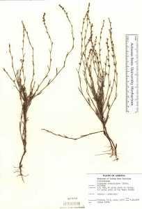 Image of Polygonum ramosissimum