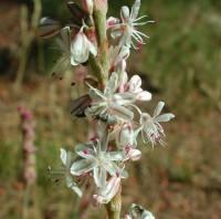 Image of Eriogonum racemosum