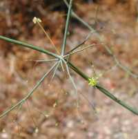 Image of Eriogonum trichopes