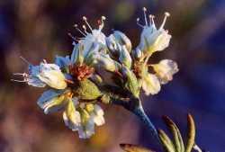 Image of Eriogonum terrenatum