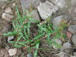 Image of Rumex californicus