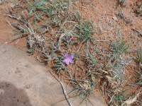 Phemeranthus brevifolius image