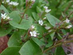 Image of Claytonia perfoliata