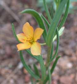 Image of Phemeranthus aurantiacus