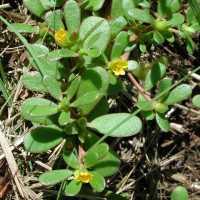 Image of Portulaca oleracea