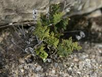 Image of Notholaena neglecta