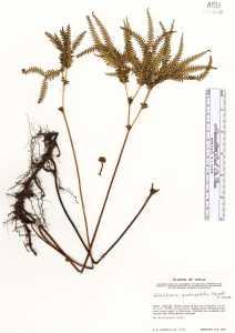Sticherus quadripartitus image