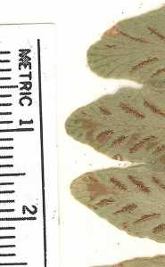 Image of Asplenium dalhousiae