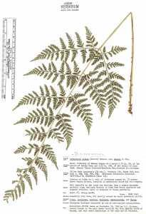 Image of Dryopteris cinnamomea