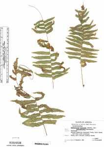 Nephrolepis exaltata image
