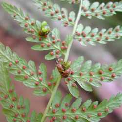Image of Cystopteris bulbifera