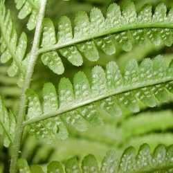 Image of Dryopteris filix-mas