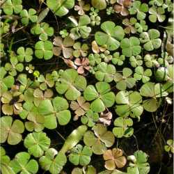 Image of Marsilea mollis