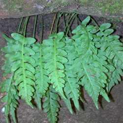 Image of Polypodium hesperium