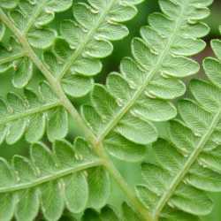 Image of Pteridium aquilinum
